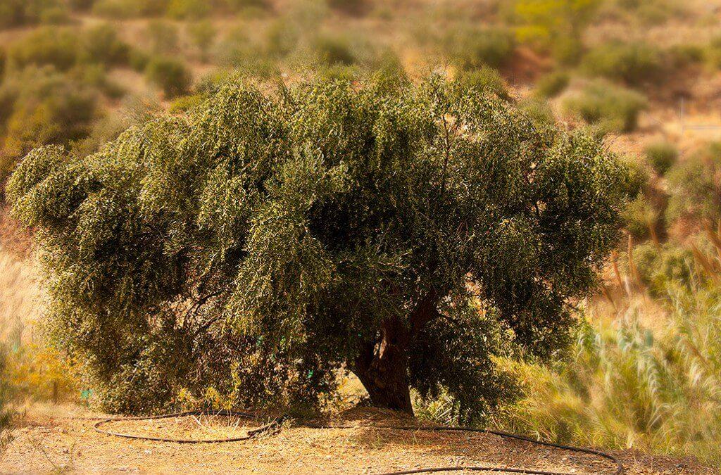 The happy olive tree