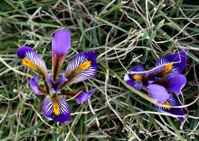 Iris-unguicularis-ssp.-cretensis2